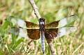 Male Widow Skimmer Dragonfly 4