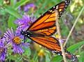 MonarchButterfly006