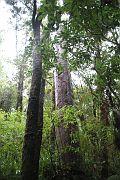 Waipoua Forest 2016 August 4 (10)