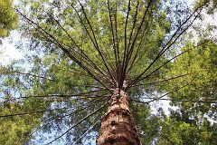 Redwoods Treewalk 2016 August 11 (117)