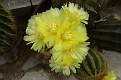 Notocactus  (2)