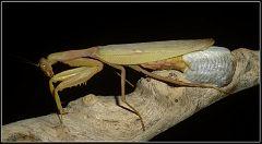 Sphodromantis viridis laying eggs ( ootheca )