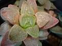 Haworthia pygmaea fa crystallina