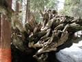 Sequoias 151