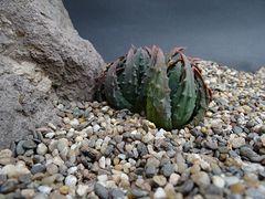 Haworthia pumila maxima
