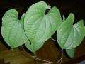 Dioscorea sp. Thailand