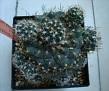 Turbinicarpus laui