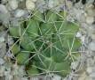 Mammillaria longimamma v. uberiformis