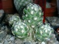Mammillaria saboe ssp. haudeana