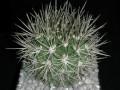 Eriosyce sp. ( Neoporteria nigrihorrida v. crassispina KK11 Coquimbo, Herradura, Chile 200 m. )