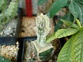 Astrophytum columnare cv. HUBOKI