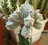 Astrophytum myriostigma var. columnare cv. minima
