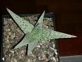 Aloe cv  'Quicksilver'