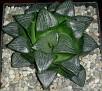 Haworthia bayeri-correcta Japanese hybrid
