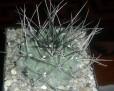 Thelocactus rinconensis -black spines-SB032