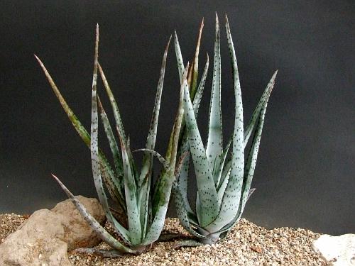 Aloe criptopodia