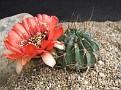 Echinopsis jajoiana v. fleischeriana