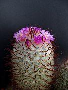 "Mammillaria bombycina CV ""Henri"""