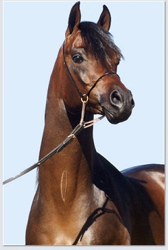 BORSALINO K (Encore Ali x Keepsake, by Huckleberry Bey++) 1997 bay stallion bred by Haras Aratingo
