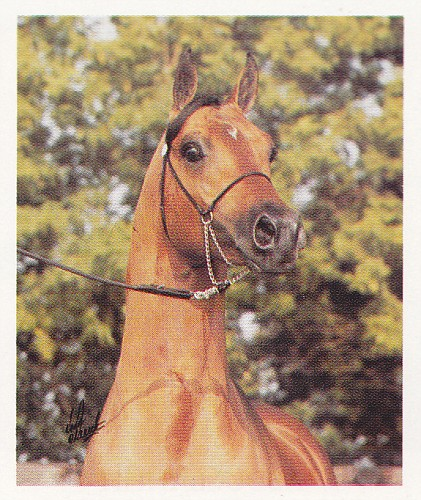 MENES #309619 (Nabeg x Metropolia, by Priboj) 1977 bay stallion bred by Tersk; exported to the Netherlands, then to the US, then to Belgium