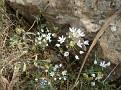 Allium + Briza maxima 04 2010