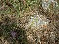 Allium + Centaurea raphanina ssp  mixta 04 2010
