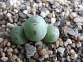 Conophytum chauviniae Ottaspoort SB1921