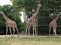 Giraffa camelopardalis  wie doet me wat