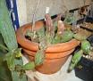 Piaranthus comptus