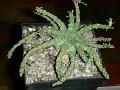 Euphorbia sp -ES 4175,RSA,Addo