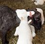 S12 Lambs-12