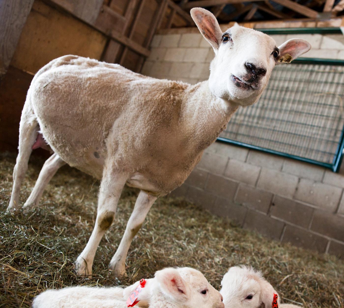 S12 Lambs-4