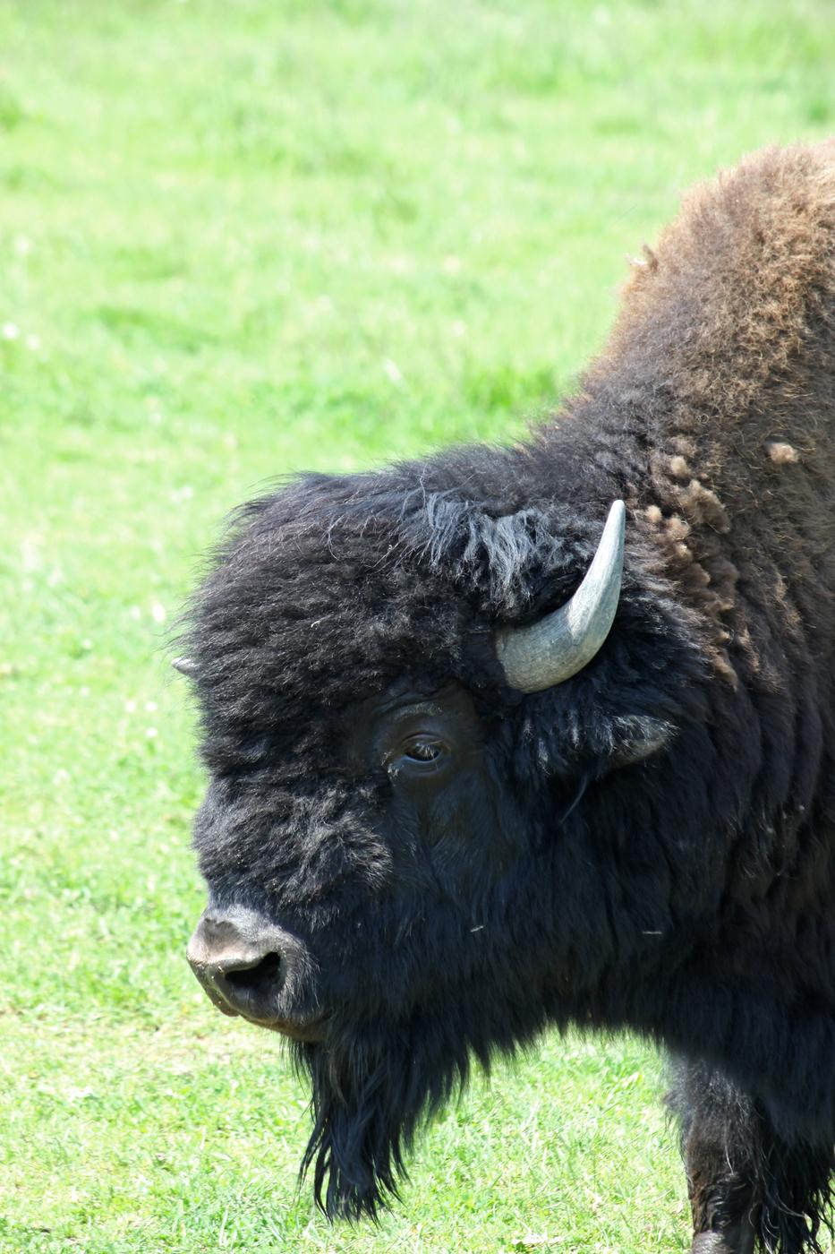 Bison #11