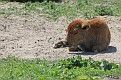 Bison Calf #13