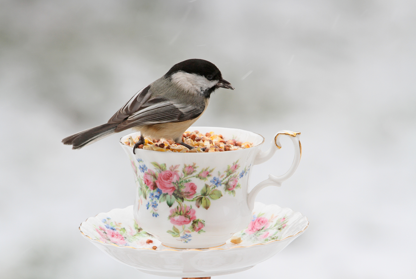 Chickadee at Teacup #21
