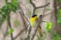 Yellowthroat #6