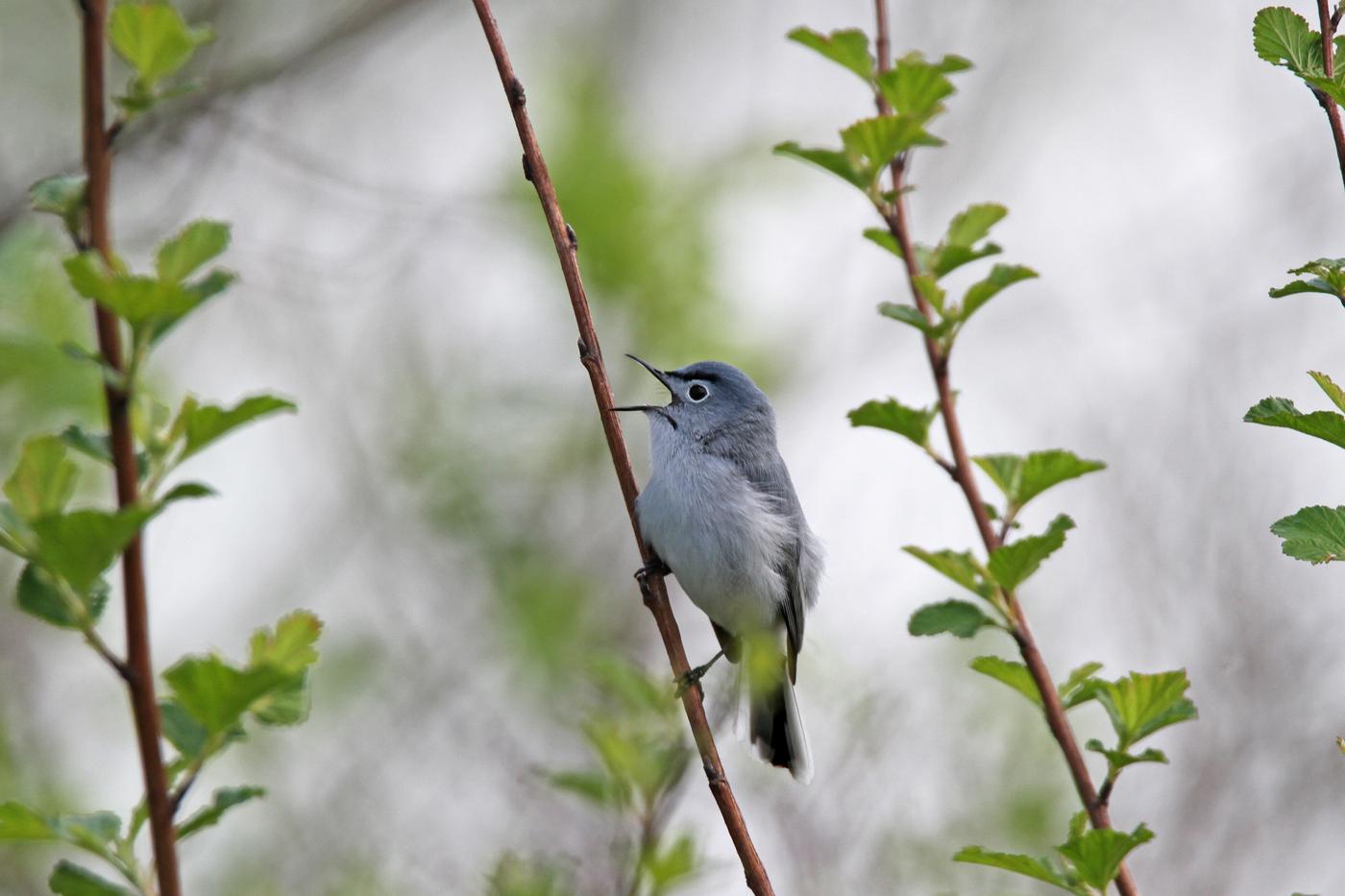 Blue Gray Gnatcatcher #20