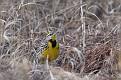 Eastern Meadowlark #26