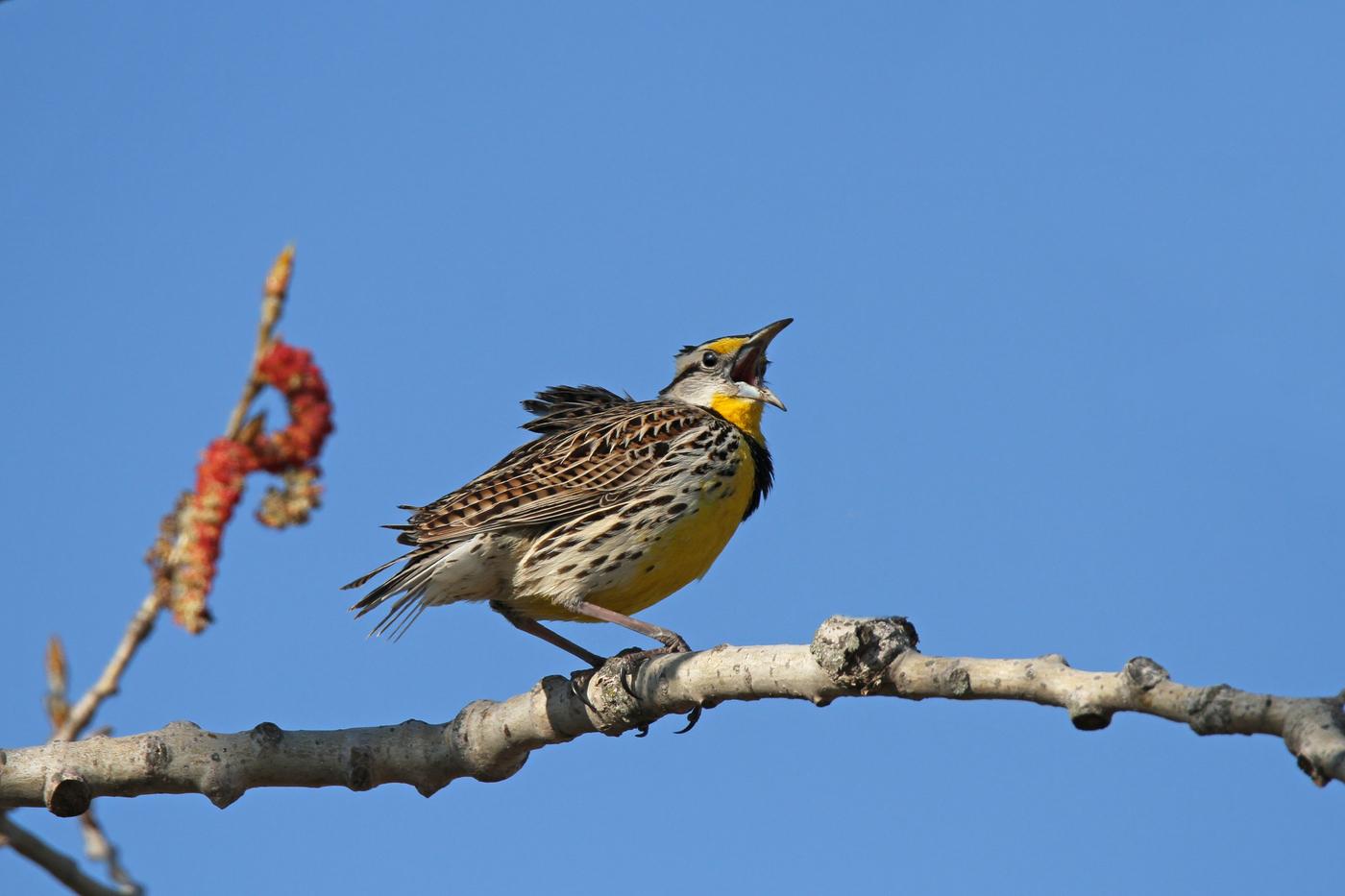Eastern Meadowlark #29