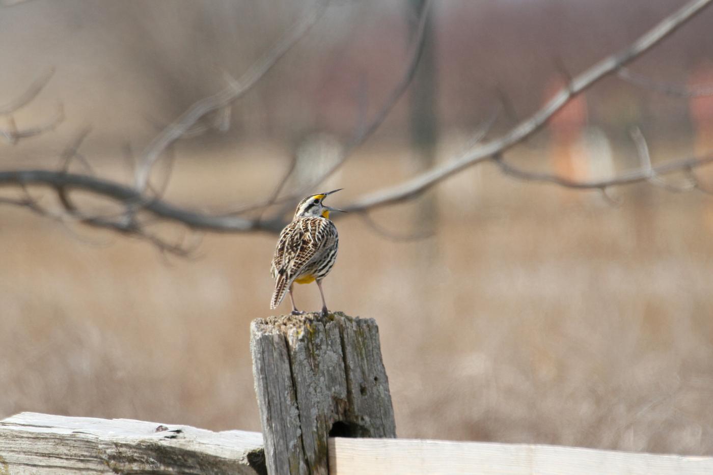 Eastern Meadowlark #10