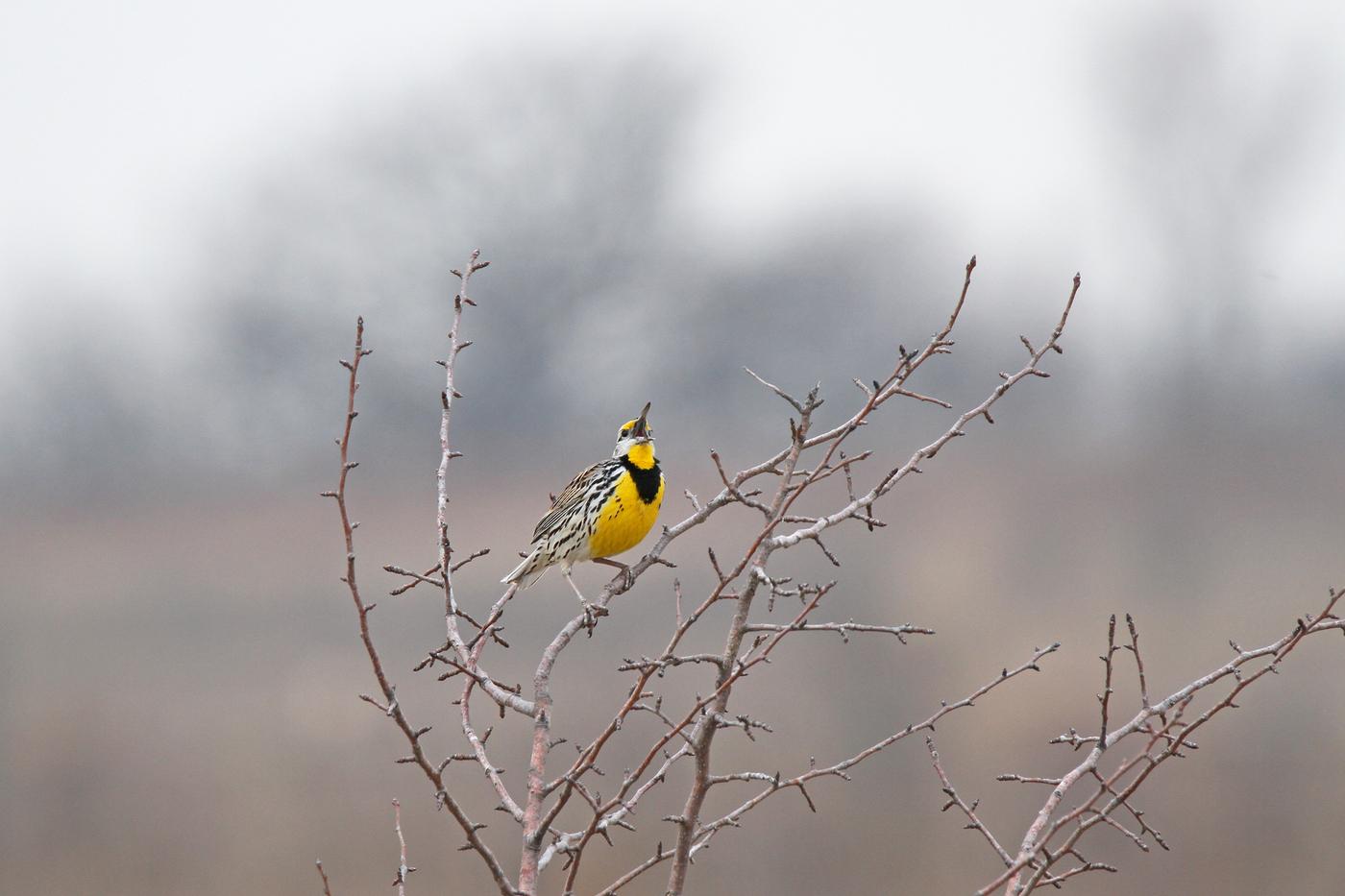 Eastern Meadowlark #24