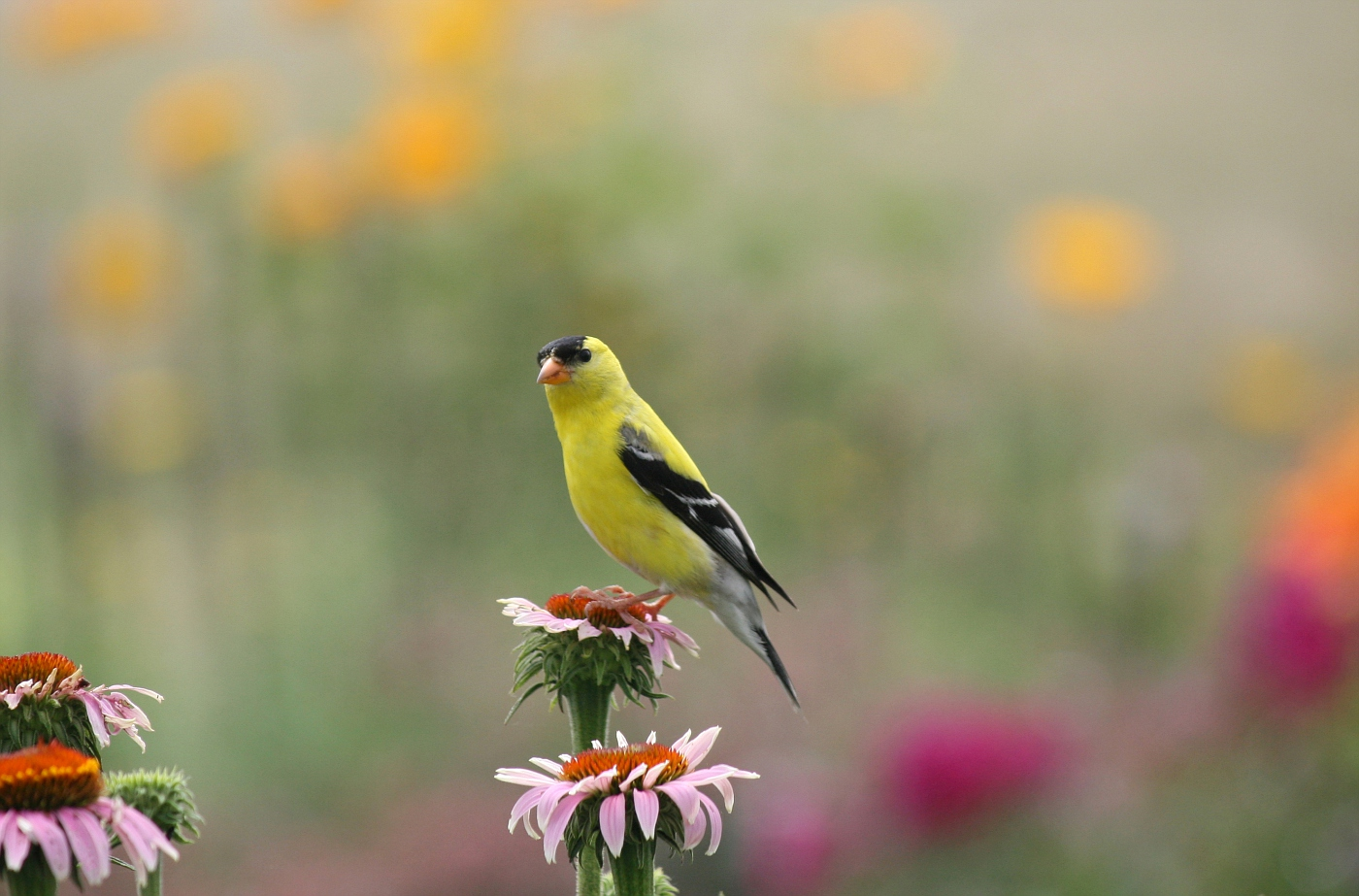 Male Goldfinch #3