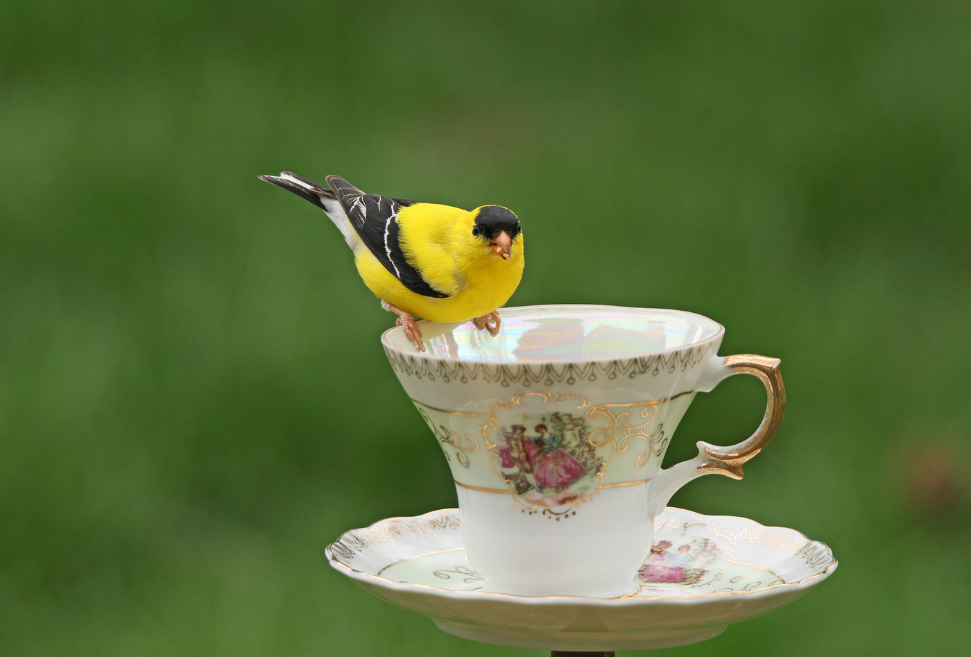 Goldfinch Teacup #8