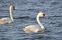 Spring Mute Swans #6