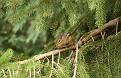 Cautious Chipmunk