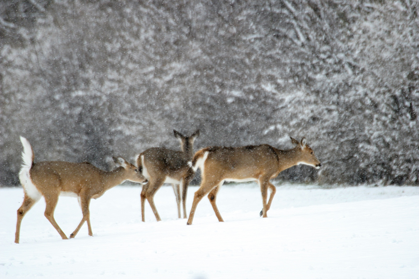 So This Is Spring Deer Series #2
