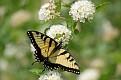 Female Eastern Tiger Swallowtail #28
