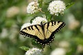 Female Eastern Tiger Swallowtail #30