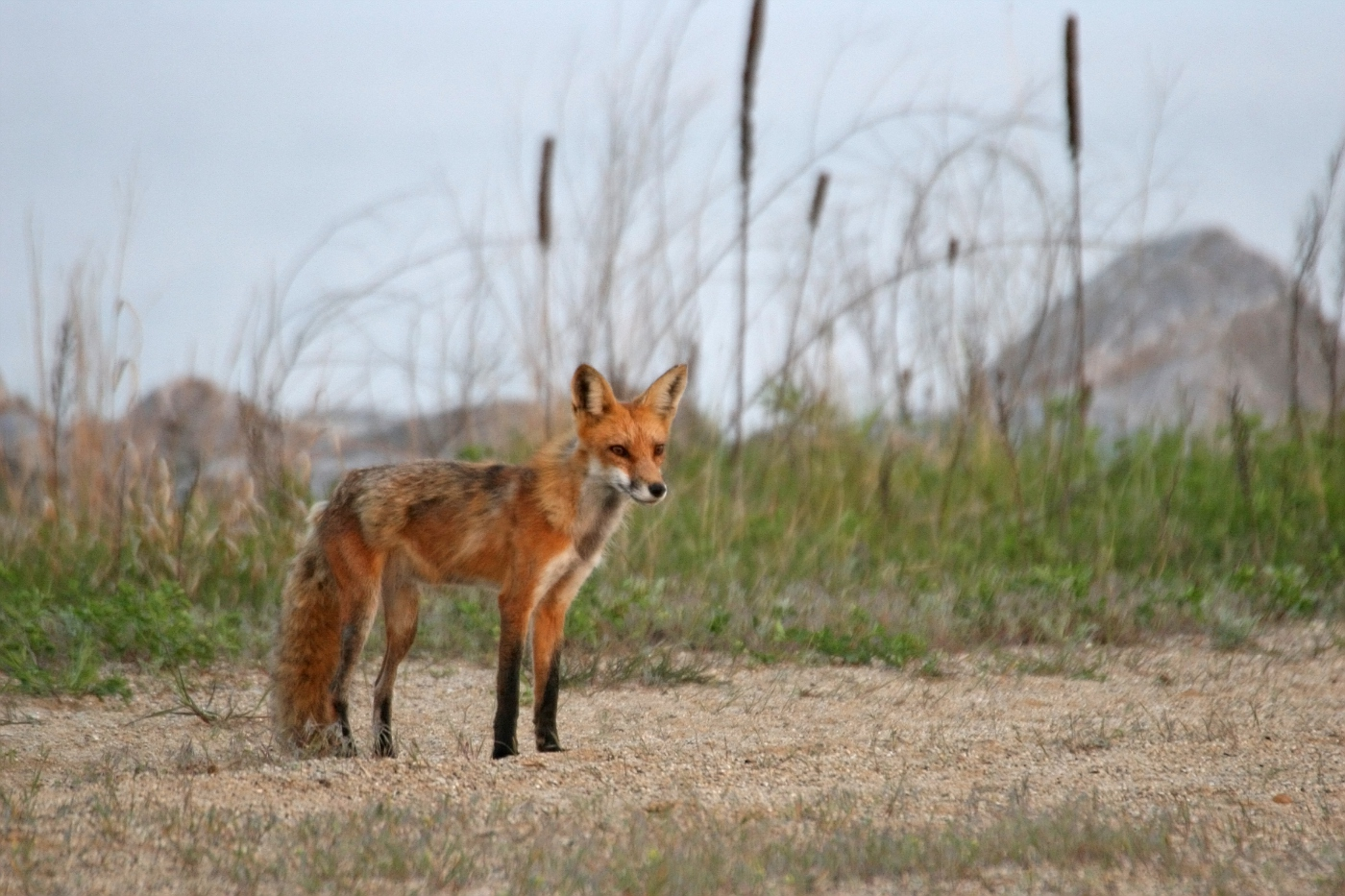 May Fox Series #9 - Adult Male
