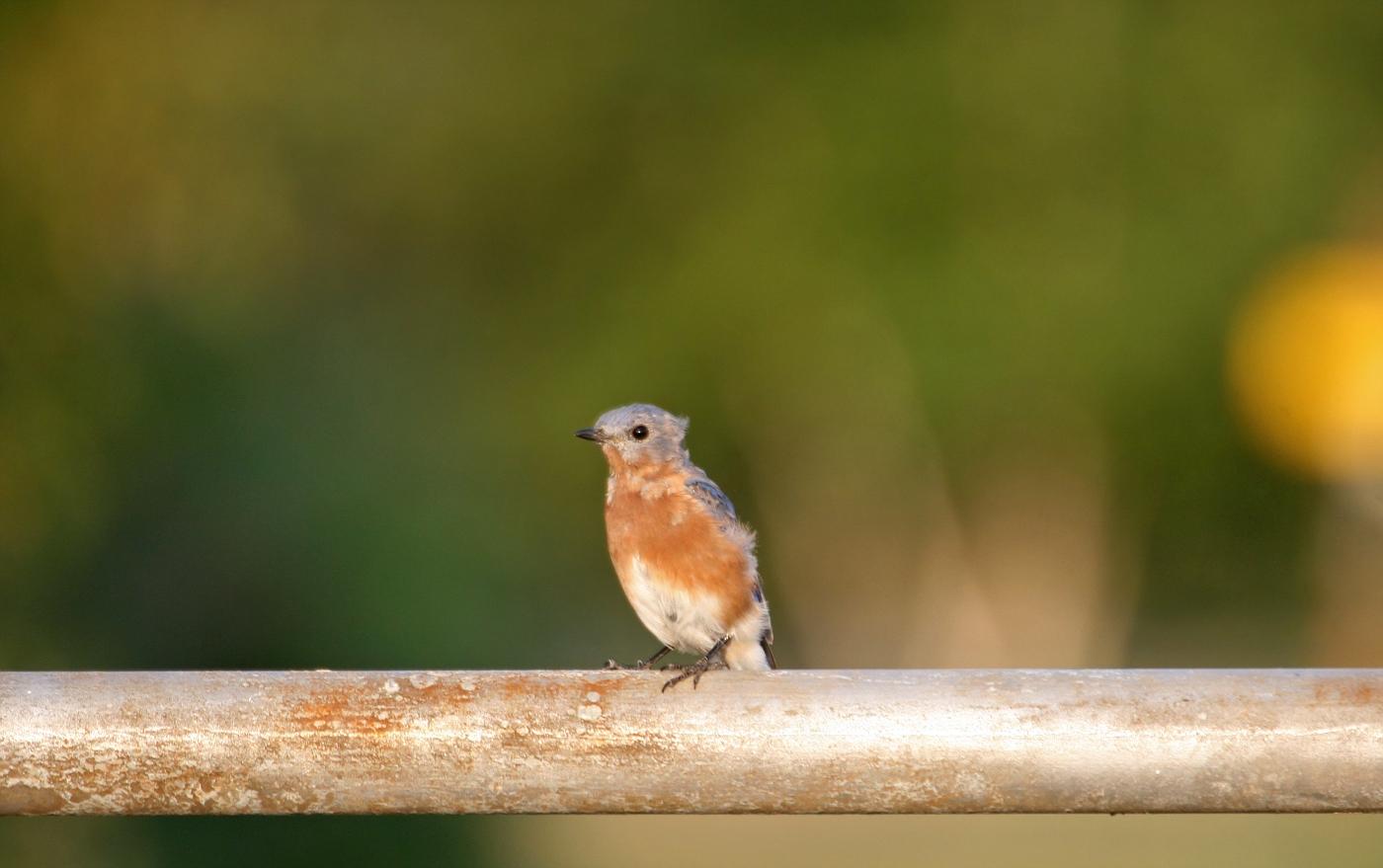 Juvenile Bluebird